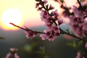 pessegueiro em flor